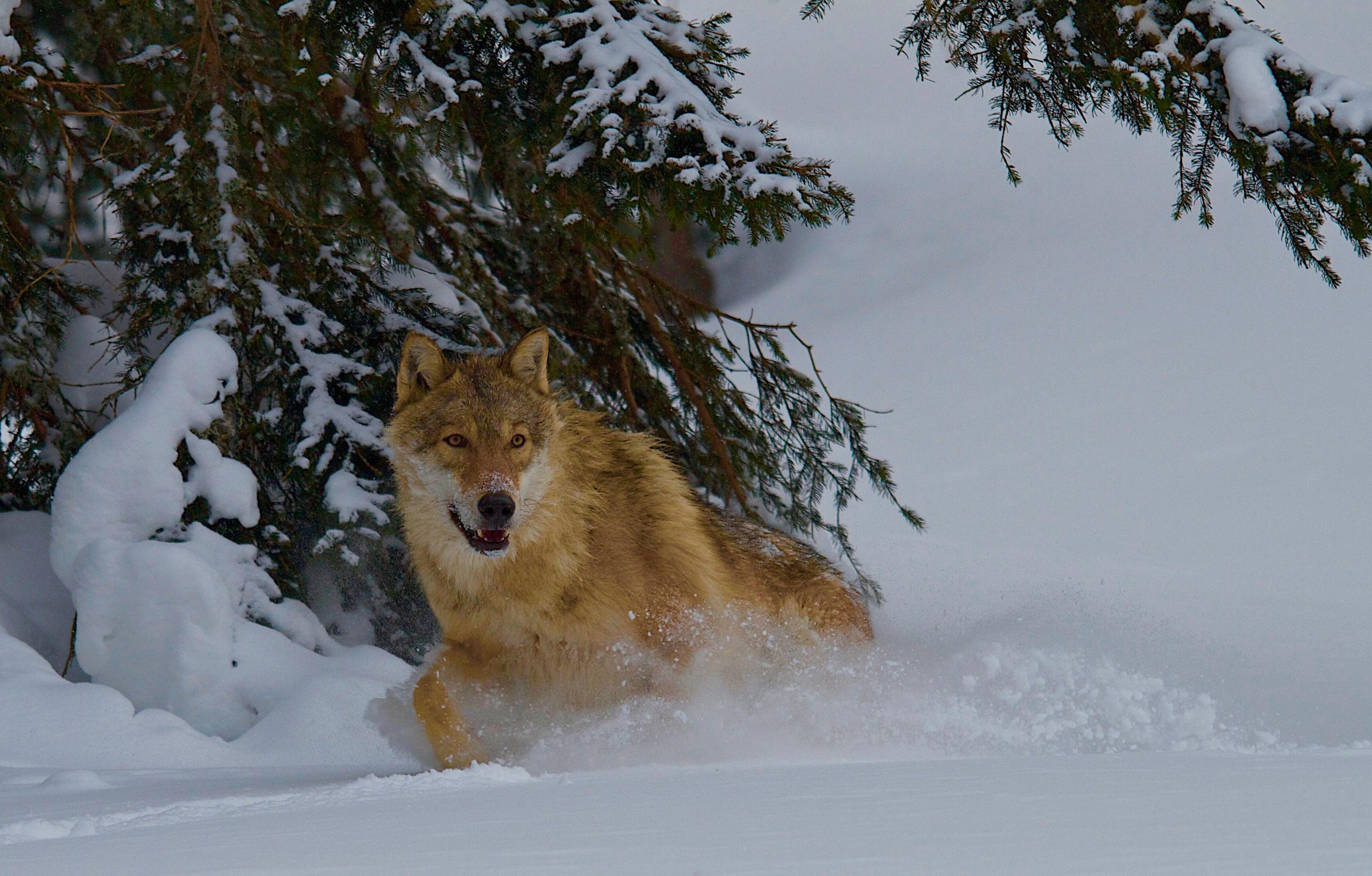 wolfi-700-1